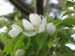 'Spring Snow' crabapple