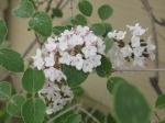 'Burkwood' viburnum