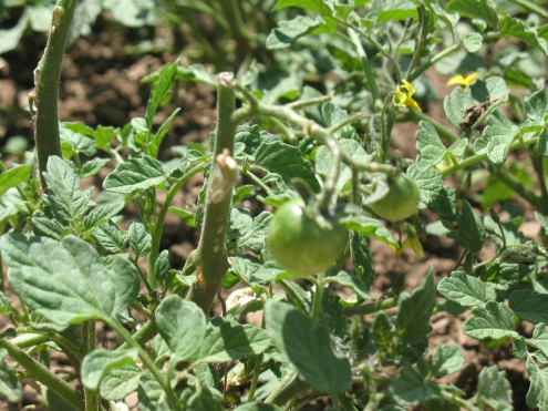 We even have fruit! Tomato 'Terenzo'