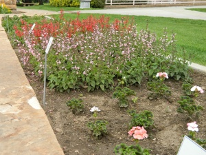 Salvia 'Summer Jewel Pink' and 'Summer Jewel Red', Geranium 'Pinto Premium White to Rose' - photo 8-18-13.