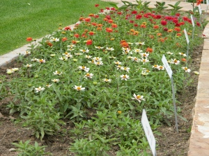 Zinnias 'Zahara Starlight Rose', 'Profusion Double Deep Salmon', and 'Profusion Double Hot Cherry' - photo 8-18-13.