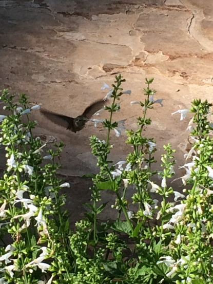 Hummingbird 7-29-16